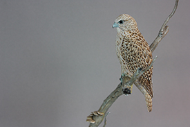 Gyrfalcon and Magpie